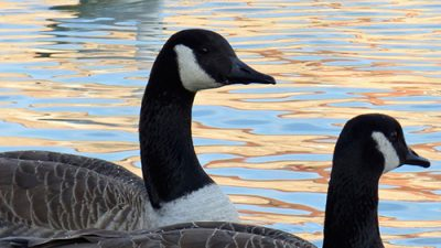 Goose Festival features new parade route, plenty of events