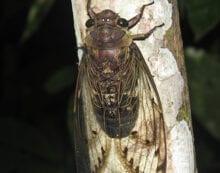 Serenaded by cicadas