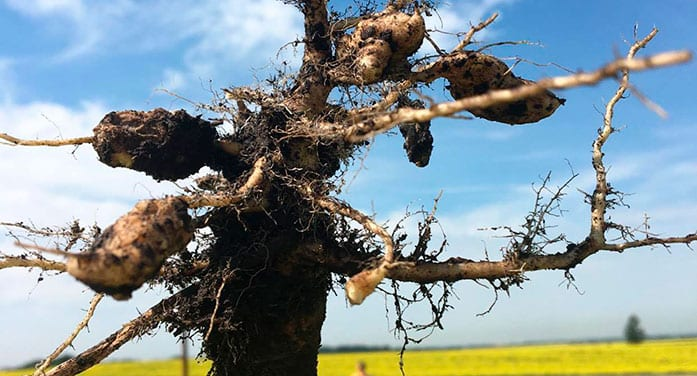 New canola-killing clubroot strains found in Western Canada